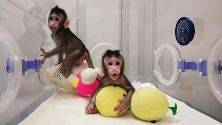 Premieră mondială: întâile maimuțe clonate