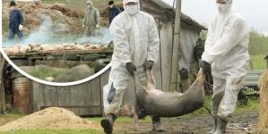 Cum mai stăm cu pesta porcină africană