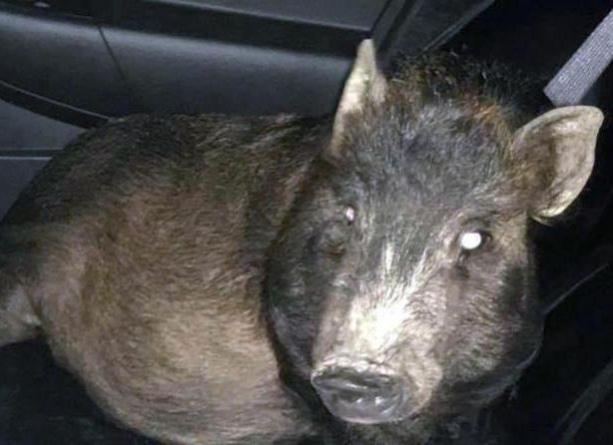 Un bărbat a chemat poliția din pricina unui porc care nu-i dădea pace, fiindcă voia să fie mângâiat (VIDEO)