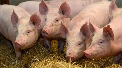 Pericol de pestă porcină:  comercializarea porcilor în târgurile de animale este interzisă