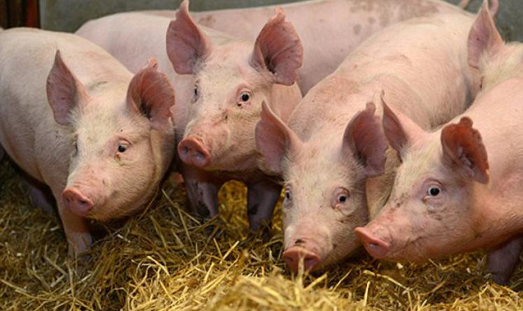 Pestă porcină africană confirmată în Rozavlea