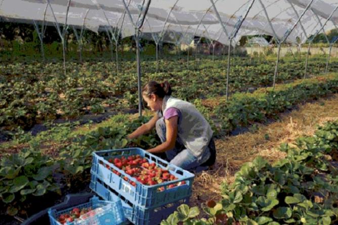 Joburi disponibile pentru cei care vor să culeagă căpșuni în Spania