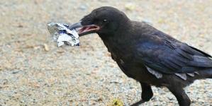 Niște ciori au fost învățate să adune gunoaiele dintr-un parc