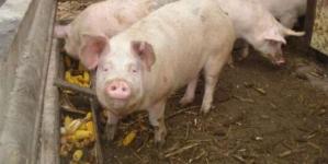 Ce măsuri se iau pentru prevenirea apariției pestei porcine africane în județ