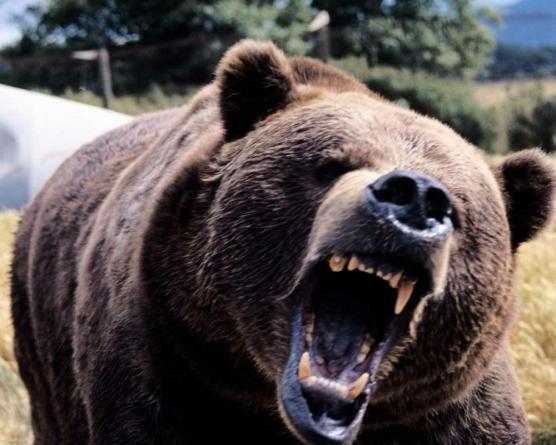 Două atacuri ale urșilor asupra oamenilor în ultimii ani în Maramureș
