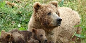 Nu le-a priit aici – urșii aduși din Brașov în Maramureș s-au întors acasă