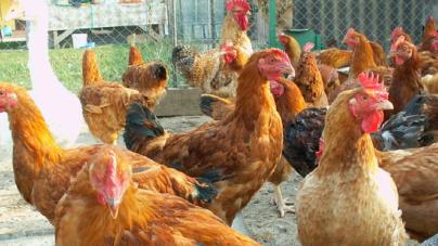 Nu am scăpat bine de pesta porcină, că își scoate ghearele gripa aviară