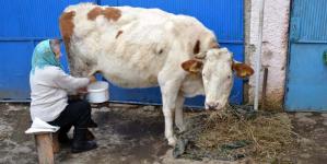 Pentru că laptele nu mai are preț, țăranii maramureșeni își vând vitele
