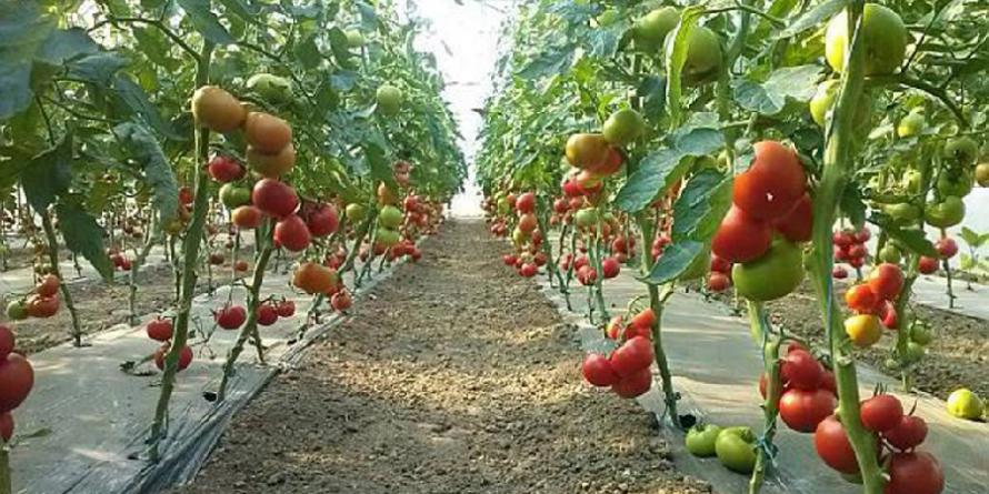 66.000 de euro plătiți către 22 de cultivatori de roșii din Maramureș