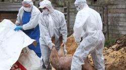 La Ieud, un caz confirmat și  o suspiciune de pestă porcină africană