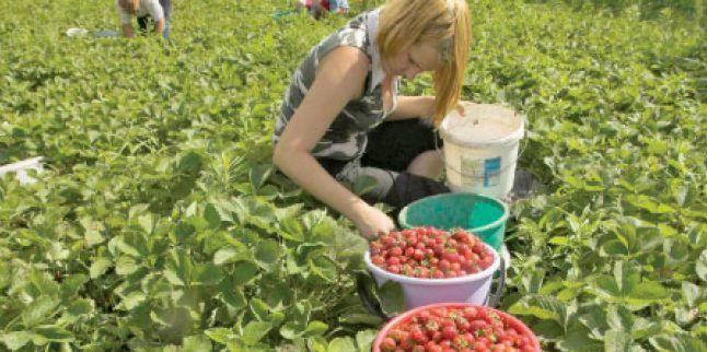 800 de locuri de muncă în Spania, la cules de căpșuni. Află salariul și condițiile de lucru