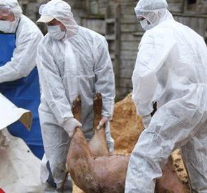 Pesta porcină africană  s-a întors din vacanța de sărbători și amenință iar Maramureșul