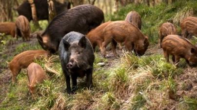 Mistreții din zona adiacentă Groșii Tibleșului vor fi recoltați integral, după ce a fost confirmat un caz de pestă porcină