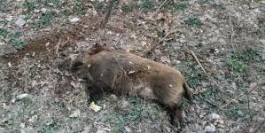 Vânătoare de mistreți, pentru eradicarea pestei porcine africane