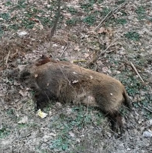 Pestă porcină confirmată în Maramureș, la un mistreț găsit mort