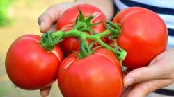 Subvenții pentru cultivatorii de roșii maramureșeni