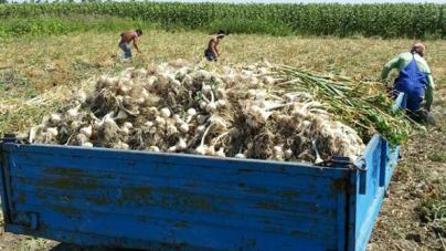 1000 de euro/hectar cultivat, ajutor pentru suținerea producției de usturoi