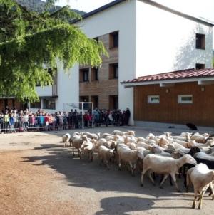 Niște oi au fost înscrise la o școală spre a se evita desființarea unei clase