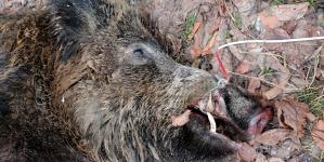 Pestă porcină africană a venit la vânătoare în Oarța de Sus!