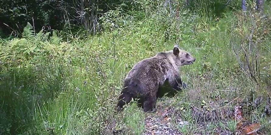 Gospodării din Drăghia atacate de urs