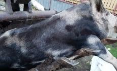 Pestă porcină confirmată la un porc domestic din Săbișa