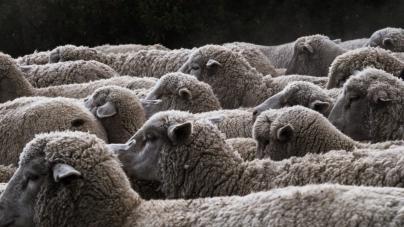 Procedură de adopție pentru oi derulată de ANSVSA