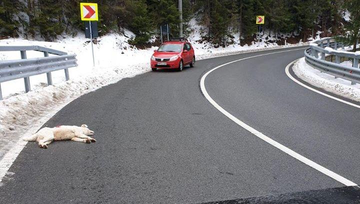Câine împușcat lângă Borșa de un paznic de vânătoare (GALERIE FOTO)