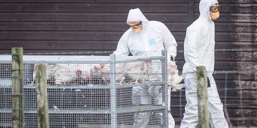 Focar de gripă aviară confirmat la Seini; 18.000 de găini vor fi incinerate