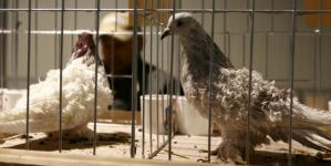 Gripa aviară de la Seini a determinat suspendarea unei expoziții în Baia Mare