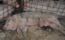 Pestă porcină africană confirmată la un porc domestic din Săbișa
