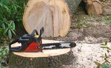 Prinși tăind ilegal arbori